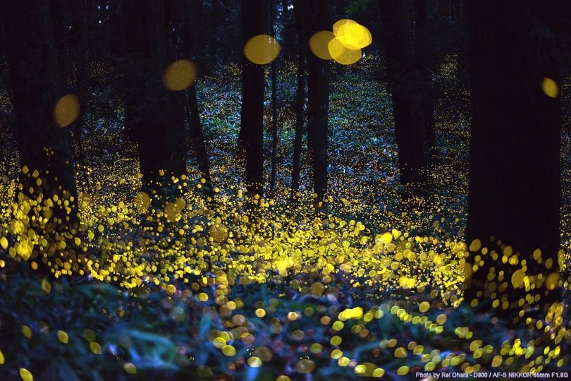 Synchronous fireflies, fireflies, smoky mountain fireflies