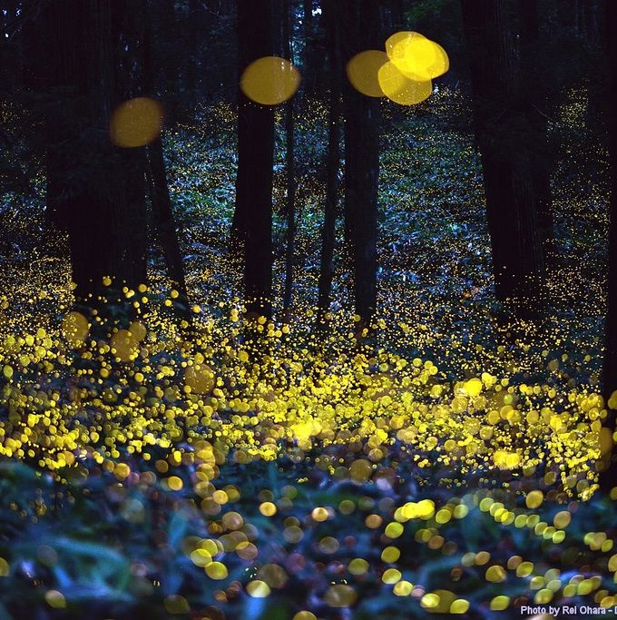 Synchronous fireflies, fireflies, smoky mountain fireflies