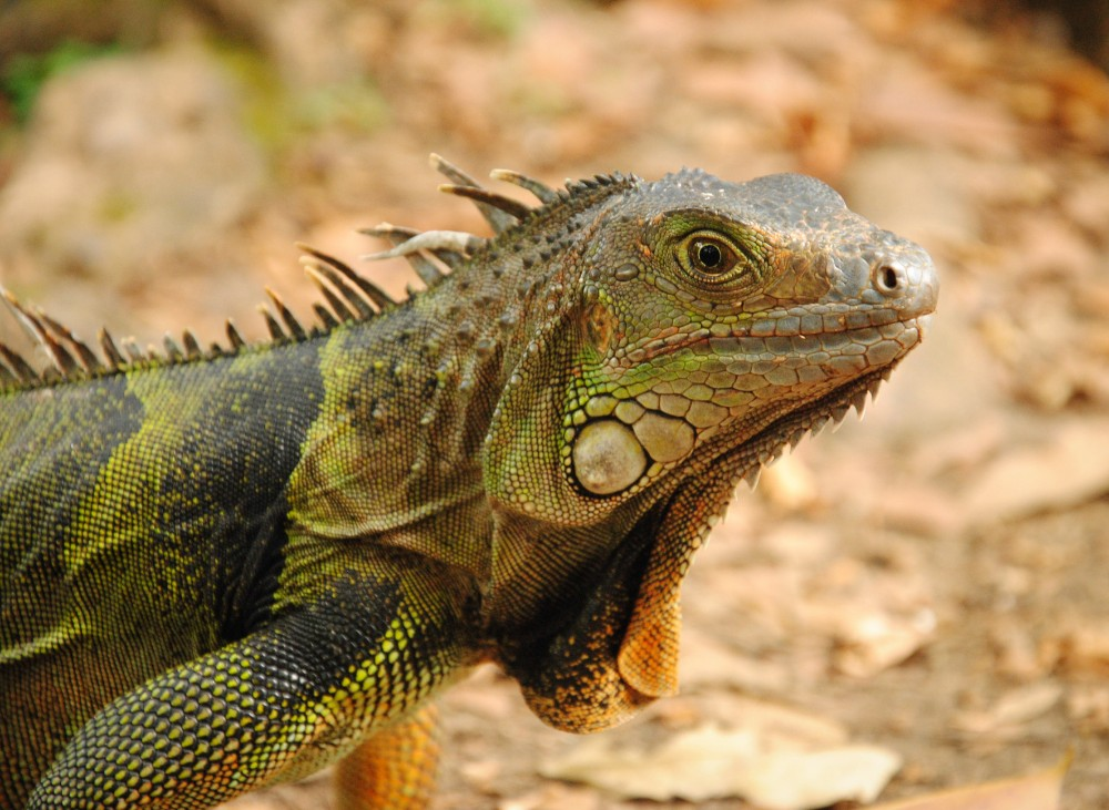 colombia travel, iguana