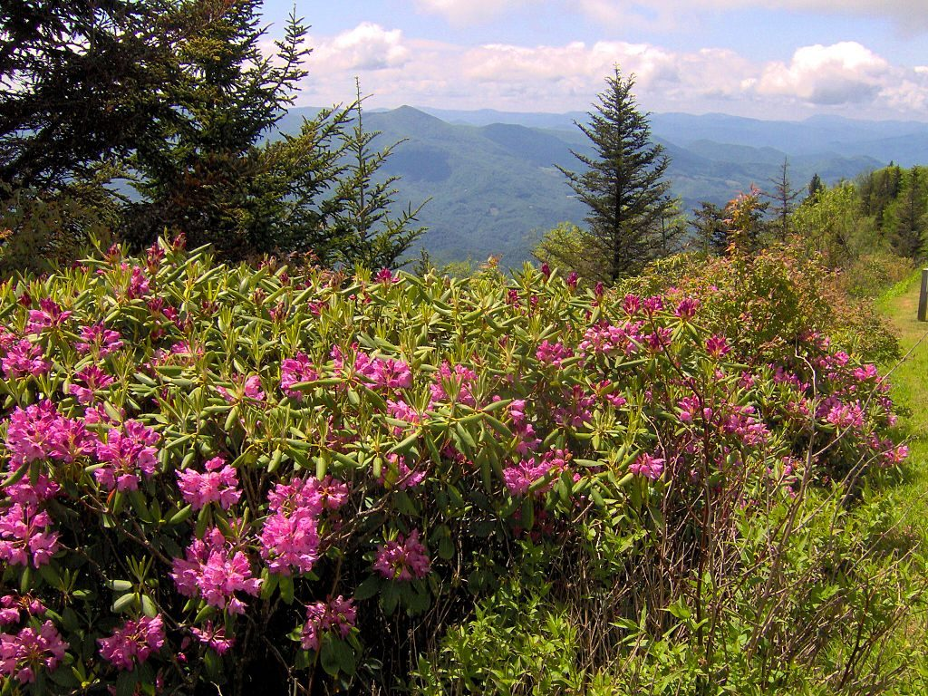 flowers, blue ridge parkway, blooms