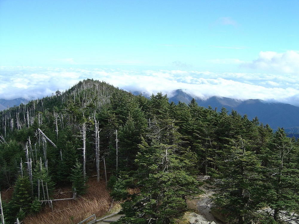clingmans dome, fraser fir,
