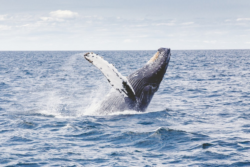 whale watching in baja, whale, wildlife