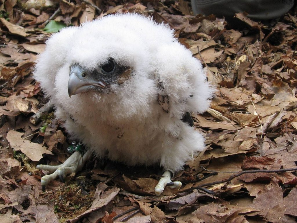 peregrine falcon chick, acadia
