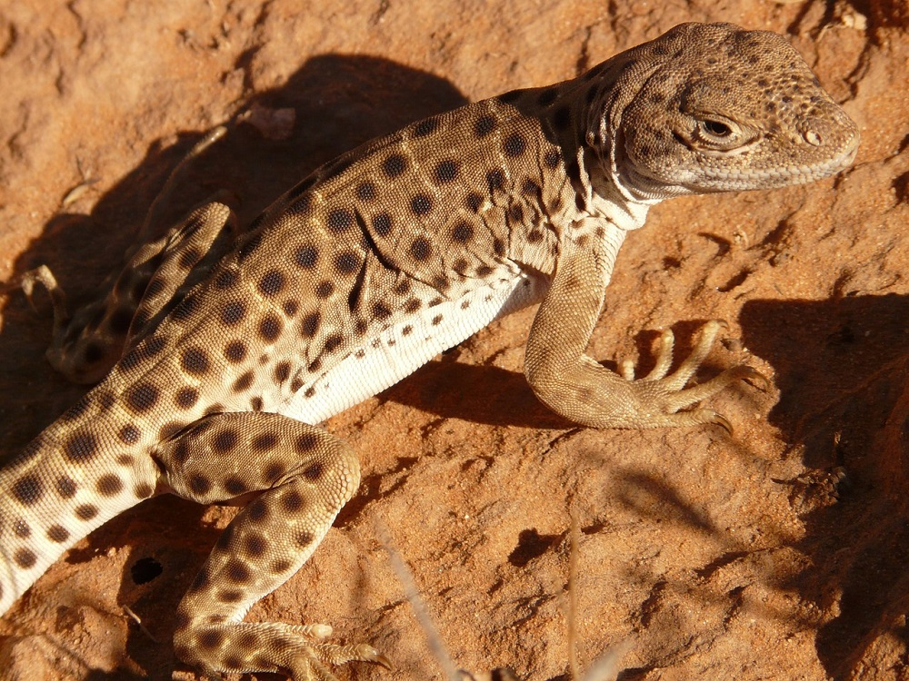 lizard, desert, arches national park, wildlife, National Park System