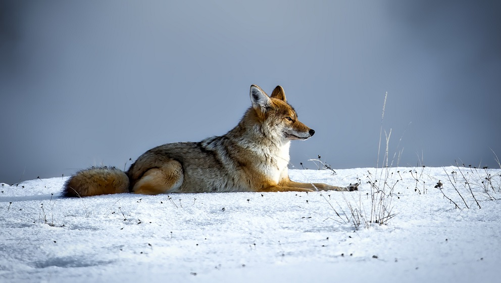 yellowstone, coyote
