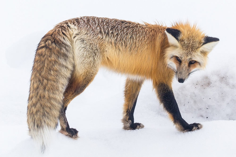 yellowstone, fox, snow