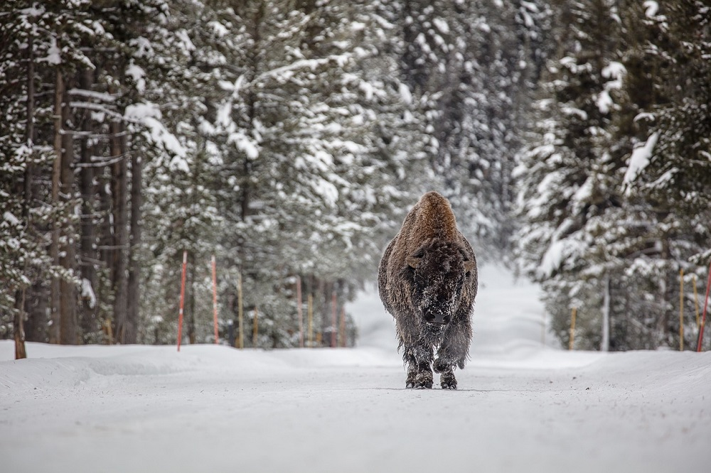 yellow stone national park, bison in snow, national park, wildlife