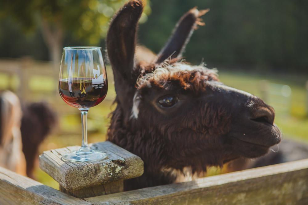 Yadkin Valley, North Carolina Wines, llama with wine glass